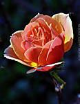 10_X_042_D3100_VR85-mic_Iso800_28Jan12_Mobile_Battleship-Park_Rose_sgc693.jpg