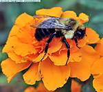 3_Z_007_D90-1_VR85-mic_Iso250_27Oct12_CView_Yard_Bee_sgc698.jpg