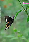 4_I_125_D90_AF105DC_I-2500_12Jul13_CView_FYard_Pipevine-Swallowtail_Fly_sgc697.jpg