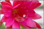 75191cactusflower.jpg