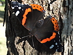 red-admiral-submit.JPG