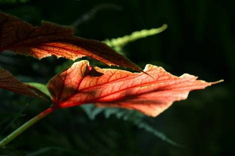 red leaf in light
