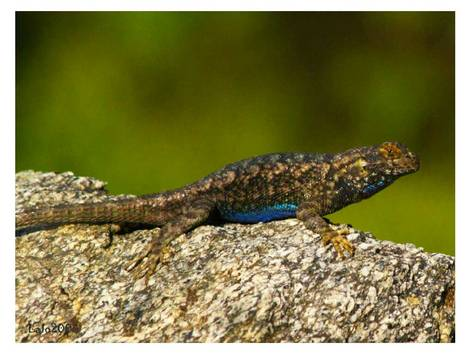 blue belly lizard