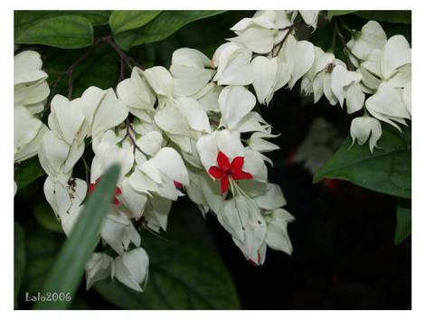 white flowers and one red