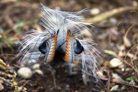 Lyre Bird's rear (Menura Novaehollandiae)