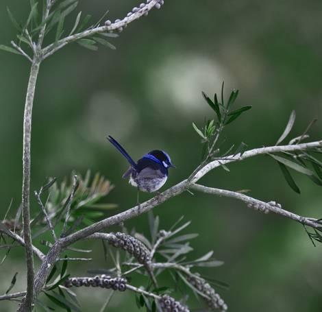 Superb Fairy Wren (Malurus cyaneus)