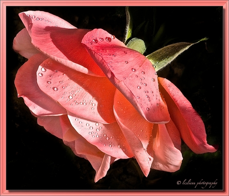 Salmon colored rose