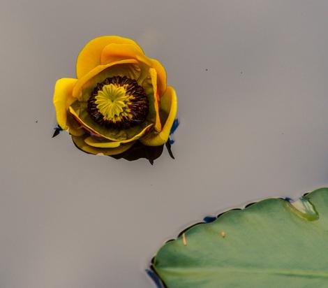 Alaskan lily