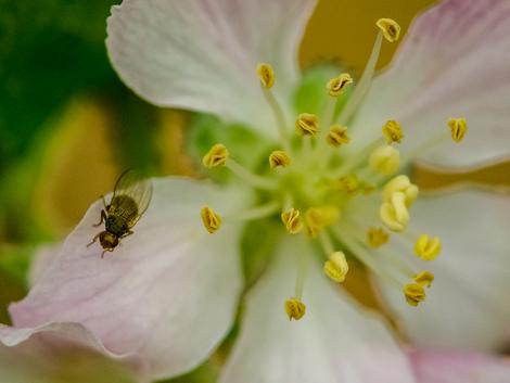 apple blossom w/bug