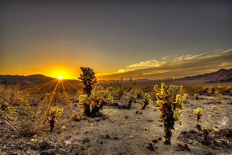 Cholla Cautus Garden Sunrise