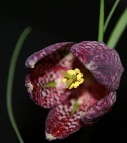 checker lilly
