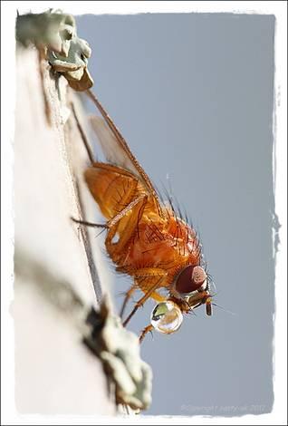 Fly-drop