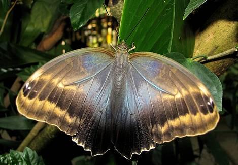backside Owl Butterfly
