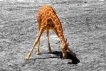 201276digi-giraffe.jpg