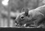 243359Western_Gray_Squirrel_1.jpg