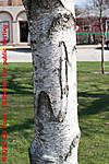 TreeBoleOrigFS2-3769.jpg