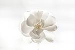 White_Rose-sjf.jpg