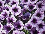 g12-common-garden-petunia.jpg