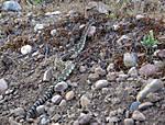 western-rattlesnake.jpg