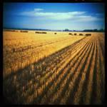 Wheat-Stubble.jpg