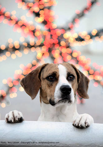 A dog and Christmas lights