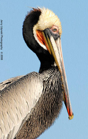 One colorful pelican