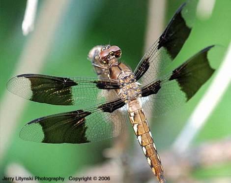 Meet a dragonfly
