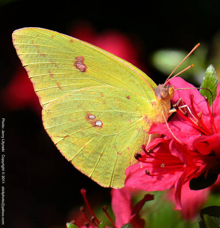 A butterfly in the Azalea blossoms