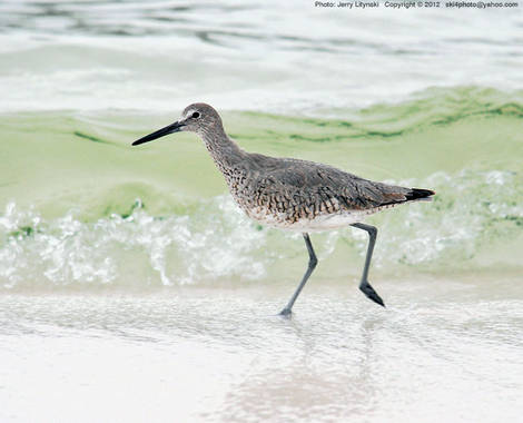 A shorebird on the harbor