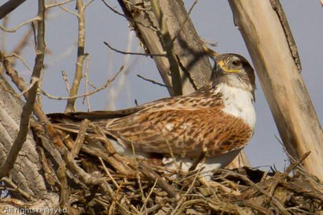 WINTER 2011 Bird ID