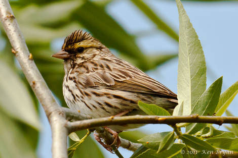 SPRING 2011 Bird ID