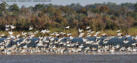 White Pelicans on and above a mud flat