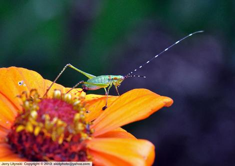 One grasshopper