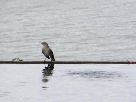 Just a Mockingbird