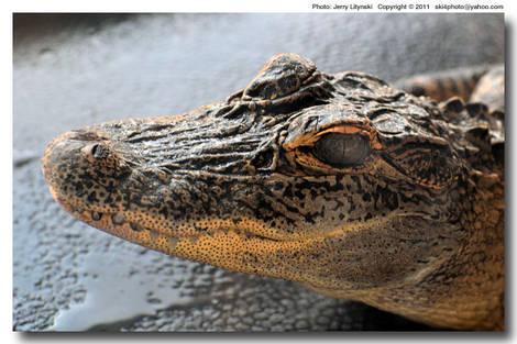 A smll gator
