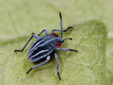 Young Grey Bug