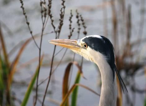 Grey Heron Portrait I