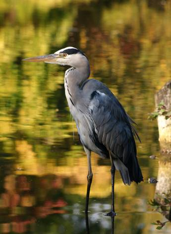 Grey Heron in Autumn Colours