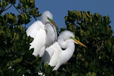 Egrets in Mangrove