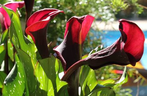 Blood-red Calla Lilies