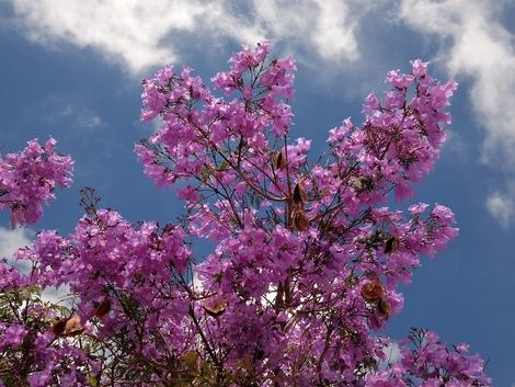 Jacaranda and Blue Sky