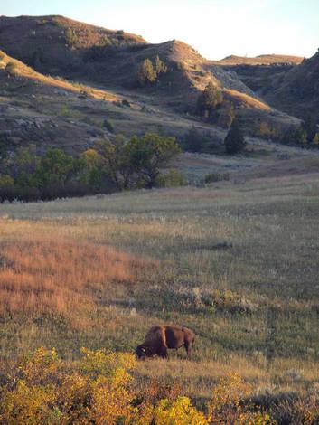 Solitary Buffalo