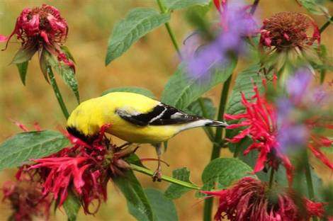 goldfinch on beebalm