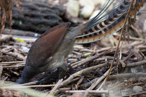 Superb Lyre Bird