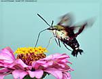 001_T_129_D60_VR70-300_Iso400_23Aug10_Sphinx_Moth_sgc692.jpg
