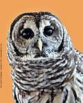 004_E_105_D300_90-mac_Iso2000_6Mar10_Lumber-Fest_Owl_sgc692.jpg