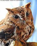 006_E_237_D300_90-mac_Iso2000_6Mar10_Lumber-Fest_Owl_sgc687.jpg