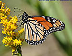 01_R_014_D90_VR55-300_Iso640_22Oct11_US-90_Mobile-Bay_Monarch_sgc696.jpg