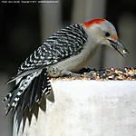 0_F_074_D70s_VR80-400_Iso640_Tpod_5Apr11_Yard_Woodpecker_sgc681.jpg
