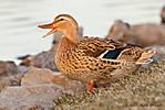 20110315_Ducks_464.jpg